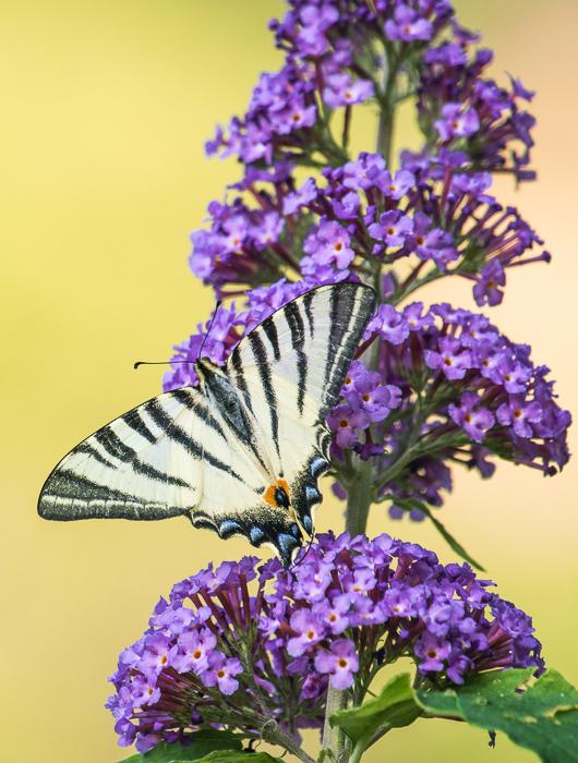 Koningspage in een vlinderstruik